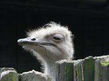 Конец портрета страуса вверх по [camelus Struthio] стоковые изображения rf