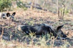 Конец поднимающий вверх и портрет милых дикой собаки или Lycaon лежа вниз в кусте Сафари живой природы в национальном парке Kruge Стоковая Фотография RF