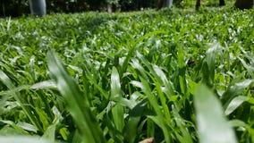 Конец поля зеленой травы вверх на солнечный день Ландшафт Стоковые Фото