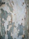 Конец предпосылки коры дерева платана вверх Плоская текстура коры дерева Стоковое фото RF