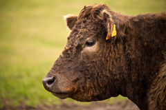 Конец профиля портрета вверх коровы темного коричневого цвета в ферме outdoors Стоковая Фотография RF