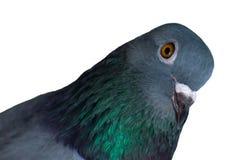 конец птицы голубя вверх по стороне изолированной на белой предпосылке Стоковая Фотография RF