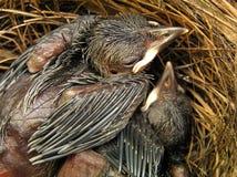 конец птицы младенца вверх Стоковые Изображения RF
