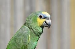 Конец птицы попугая зеленого цвета Амазонки вверх стоковое изображение rf