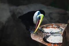 Конец птицы Toucan вверх по фото Стоковые Изображения RF
