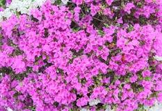 Конец пурпура цветка бугинвилии вверх, glabra Choisy красивое Стоковые Изображения