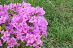 Конец пурпура цветка бугинвилии вверх, glabra Choisy красивое Стоковая Фотография RF