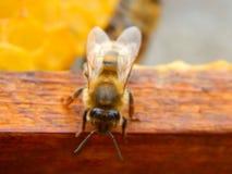 Конец пчелы вверх по сидеть на рамке в улье стоковая фотография rf