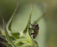 конец пчелы многодельный вверх по работнику Стоковые Изображения RF