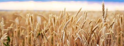 Конец пшеницы ушей пшеничного поля золотой стоковая фотография rf