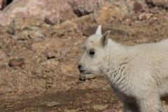 Конец ребенк козы горы вверх Стоковое фото RF