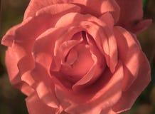 Конец Розы панка вверх стоковое изображение