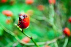 Конец Розы собаки вверх по красному цвету Стоковое Изображение RF