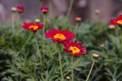 Конец ромашника цветков красного цвета вверх Предпосылка Sumer стоковые изображения