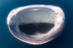 Конец рта китовой акулы открытый вверх по портрету подводному Стоковое Изображение RF