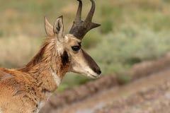 Конец самца оленя антилопы Pronghorn вверх Стоковое Изображение