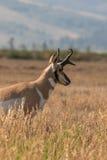 Конец самца оленя антилопы Pronghorn вверх Стоковая Фотография