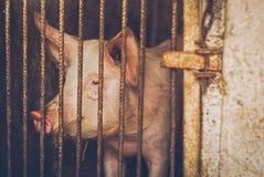 Конец свиньи фермы вверх по портрету Стоковое Изображение RF