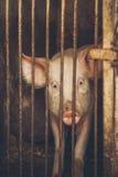Конец свиньи фермы вверх по портрету 2 Стоковая Фотография RF