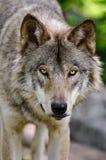 Конец серого волка вверх по головной съемке смотря вперед стоковые изображения