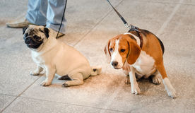 Конец собаки бигля и мопса вверх Стоковые Фотографии RF