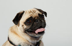 Конец собаки мопса вверх Стоковое Изображение
