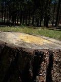 Конец сока дерева вверх Стоковые Фото