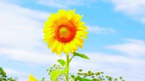 Солнцецвет с предпосылкой голубого неба стоковые фотографии rf