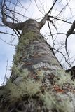 Конец ствола дерева мха лишайника вверх Стоковое Фото