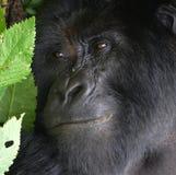 Конец стороны гориллы вверх Стоковые Изображения RF