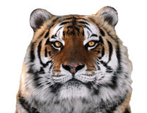 Конец стороны ` s тигра вверх изолированный на белой смотря камере Стоковая Фотография
