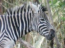 Конец съемки зебры головной вверх в Южной Африке Стоковые Фотографии RF