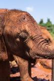 Конец слона младенца вверх стоковые изображения rf