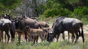 Конец табуна антилопы гну вверх Стоковое Изображение RF