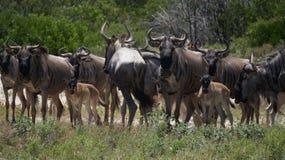 Конец табуна антилопы гну вверх Стоковое Изображение