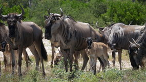 Конец табуна антилопы гну вверх Стоковое фото RF