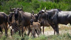 Конец табуна антилопы гну вверх Стоковая Фотография RF