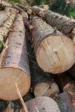 Конец толстого хобота длинный грубый грубый изогнутый основания дизайна конструкции заготовки леса предпосылки дерева стоковое фото rf