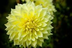 Конец хризантемы цветка желтый вверх по макросу астероидов Красивая желтая маргаритка изолировала абстрактные цветки цвета хризан стоковое фото rf