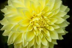 Конец хризантемы цветка желтый вверх по макросу астероидов Красивая желтая маргаритка изолировала абстрактные цветки цвета хризан стоковое изображение rf