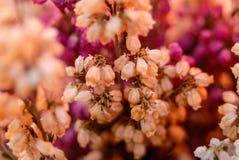 Конец цветения цветка белых и фиолетовых вересков вверх Стоковое фото RF