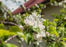 конец цветения яблока цветет вал вверх стоковое изображение rf