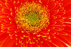 конец цветет gerbera вверх Стоковое фото RF