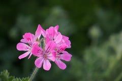 Конец цветка бабочки гераниума вверх Стоковая Фотография RF