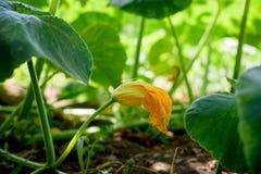 Конец цветка завода цукини вверх Стоковые Фото