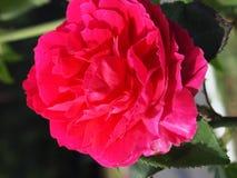 Конец цветка красной розы вверх Стоковое Изображение