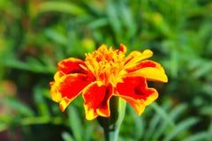 конец цветка ноготк вверх Стоковая Фотография