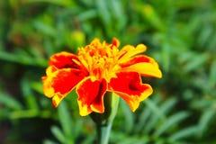 конец цветка ноготк вверх Стоковые Изображения