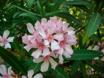 Конец цветка пинка олеандра Nerium вверх Стоковые Изображения