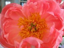 Конец цветка пиона вверх Стоковые Фотографии RF
